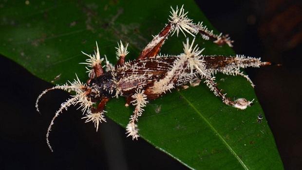 Cordyceps-bug