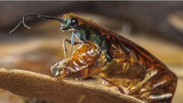 Zümrüt Hamamböceği Arısı