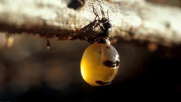 karınca sünger
