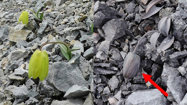 Fritillaria-delavayi